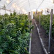 Bill C-45 Passes, Legal Cannabis Still Months Away